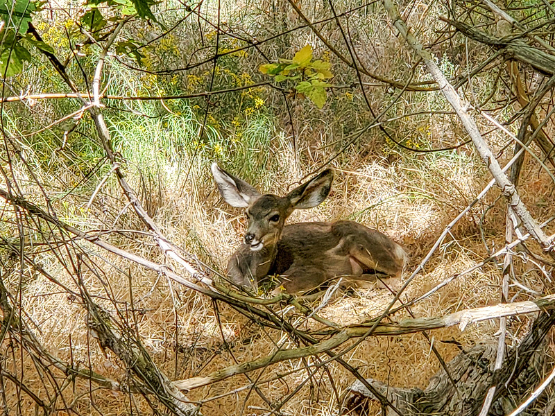 Deer just off of Riverside Walk