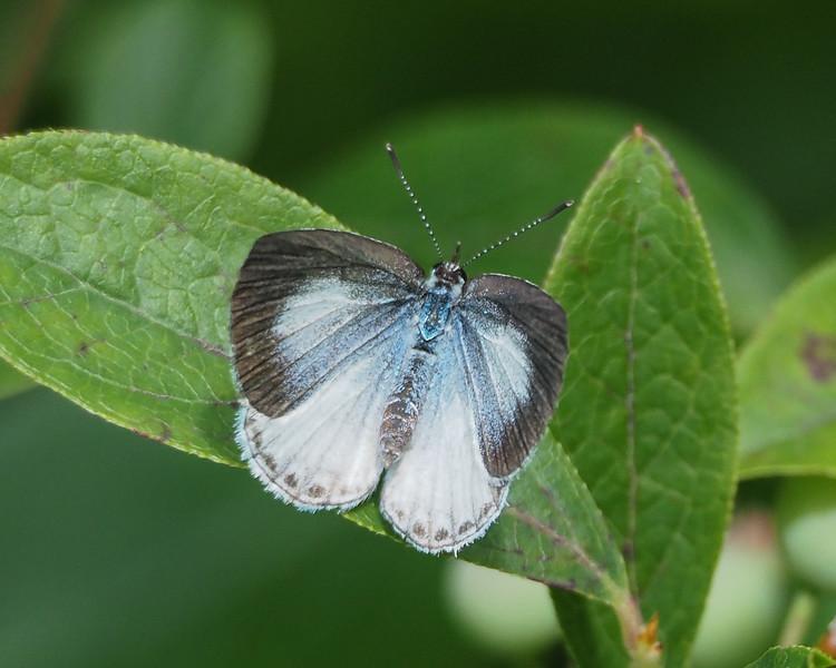 Summer Azure, female