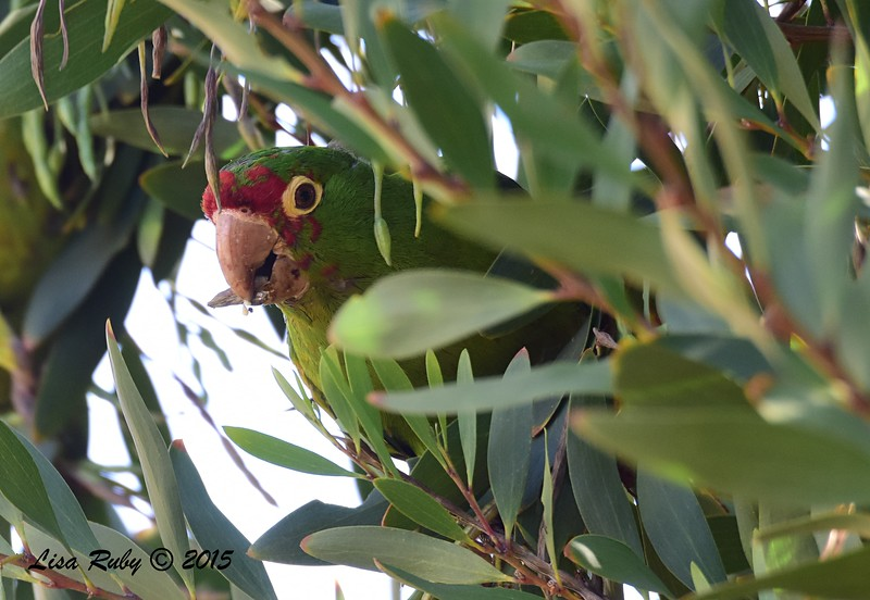 Mitred Parakeet - 5/10/2015 - Point Loma Nazarene University