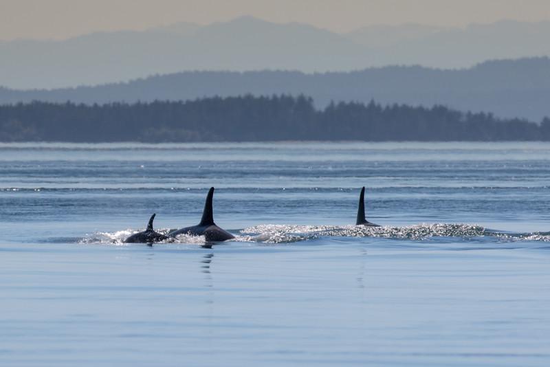 Orcas -  073115-103.jpg