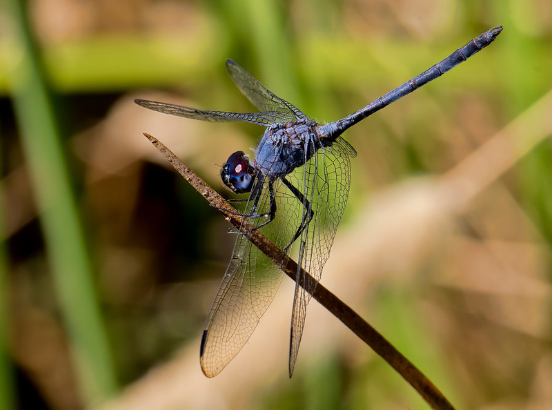 Black Setwing, Dythemis nigrescens, male, Spur Cross Recreation Area, Maricopa County