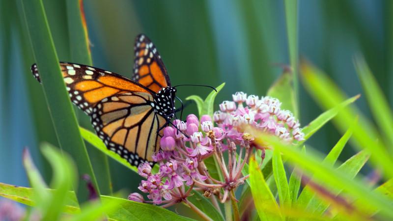 Monarch - 1