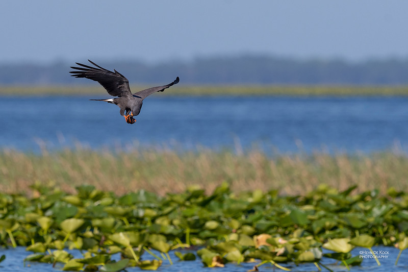 Snail Kite, Kissimmee Swamp, Kenansville, FL, US, May 2018-7.jpg