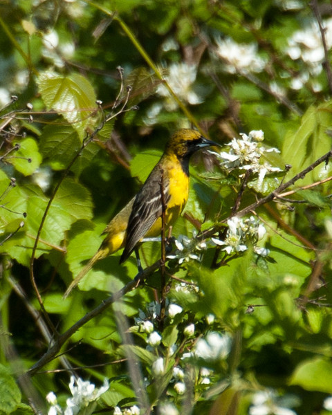 Oriole - Orchard Oriole (juv m) 4136