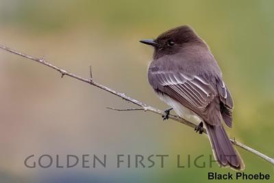Black Phoebe, San Diego CA, USA