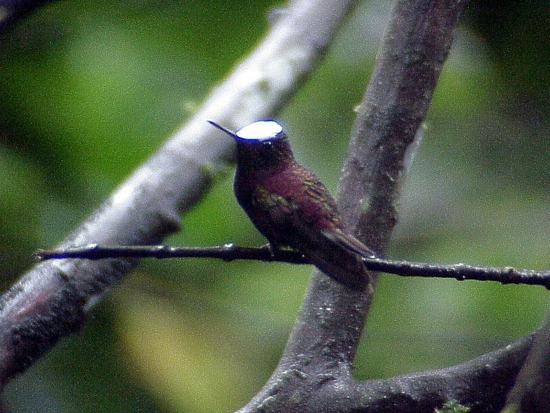 Snowcap male 3 at Ranch Naturalista Costa Rica 2-13-03 (50898307)
