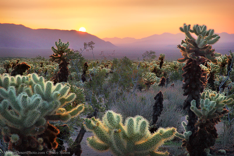 Cholla cactus garden illuminated by a spectacular desert sunrise in Joshua Tree National Park. The cholla cactus is famous for it's dramatic way of catching backlight from the sun for hours after the sun has risen and hours before it sets as well. Don't get too close or they may stick to you.