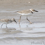Wilson's Plover and Semiplamated Sandpiper