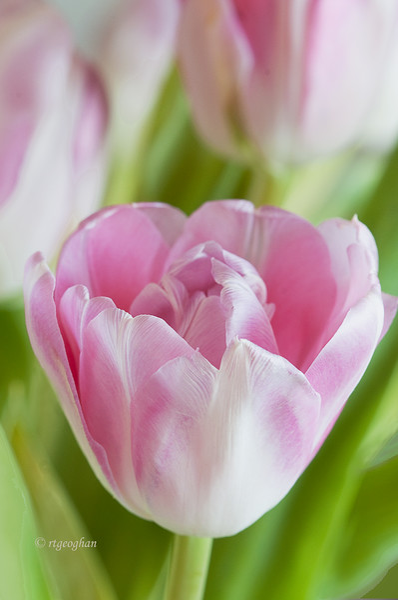 Pink Tulips_April 17_1616.jpg