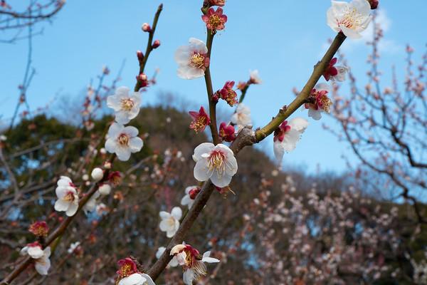 Tokyo Sakura 2017 Sakura start
