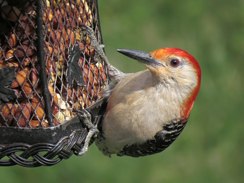 sx50_red_bellied_woodpecker_277.jpg