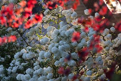 Reggi's Snowball Viburnum 2014