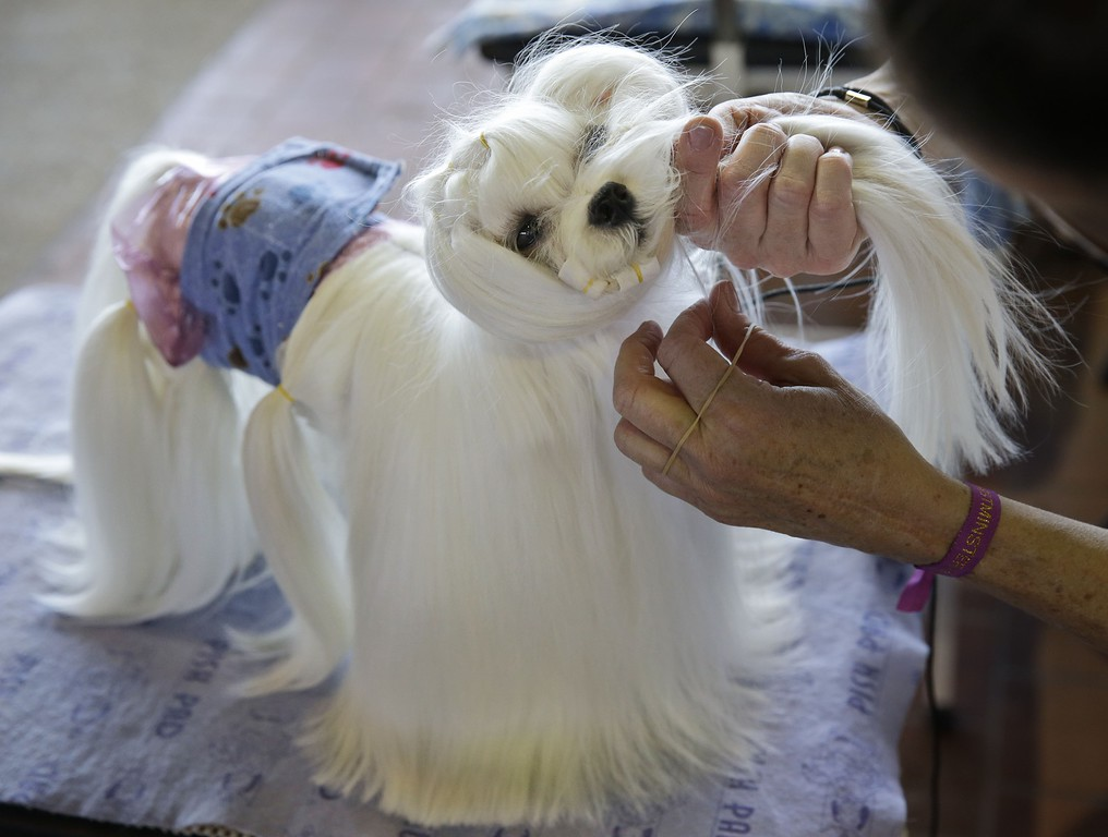 . A Maltese named Franz has his hair rubber banded so he can go to the bathroom at the Westminster Kennel Club show in New York, Monday, Feb. 16, 2015. The show starts Monday morning and, to the owners of the 2,711 pooches set to take part, it\'s the Super Bowl, World Series and Daytona 500 of dogdom in the United States, one giant bark in the park. (AP Photo/Seth Wenig)