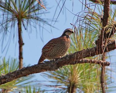Landfowl