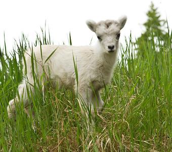 2012 NEW BABY DALL SHEEP