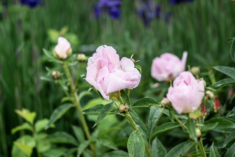 Arboretum Flower Iris-06283.JPG