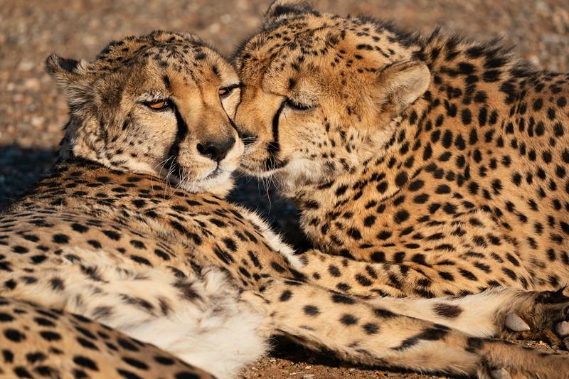 Adult Cheetahs Bonding