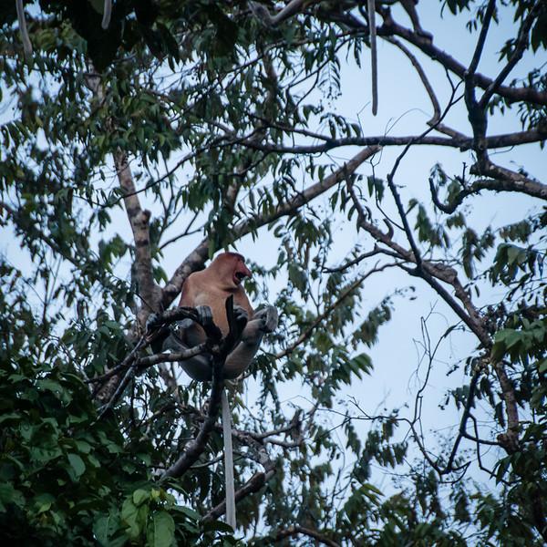 MONKEY - proboscis screaming at intruders-0499.jpg