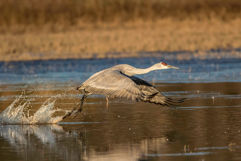 Sandhill crane on takeoff