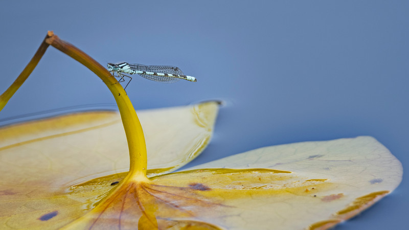 Common blue damselfly on Lily
