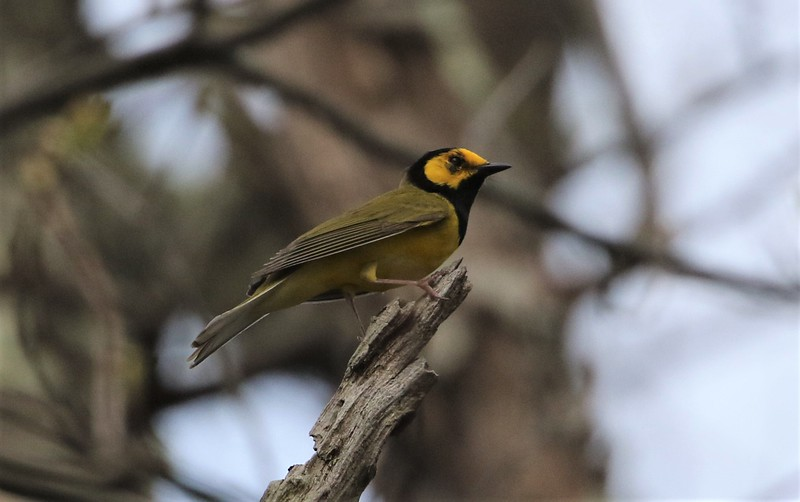 Hooded Warbler - photo by Roger Higbee