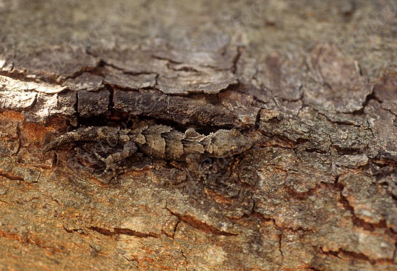 Kotschy's Gecko  (Mediodactylus kotschyi ) שממית עצים