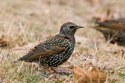 Blackbirds, Starling