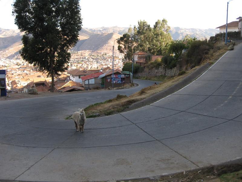 3565 - Llama.jpg