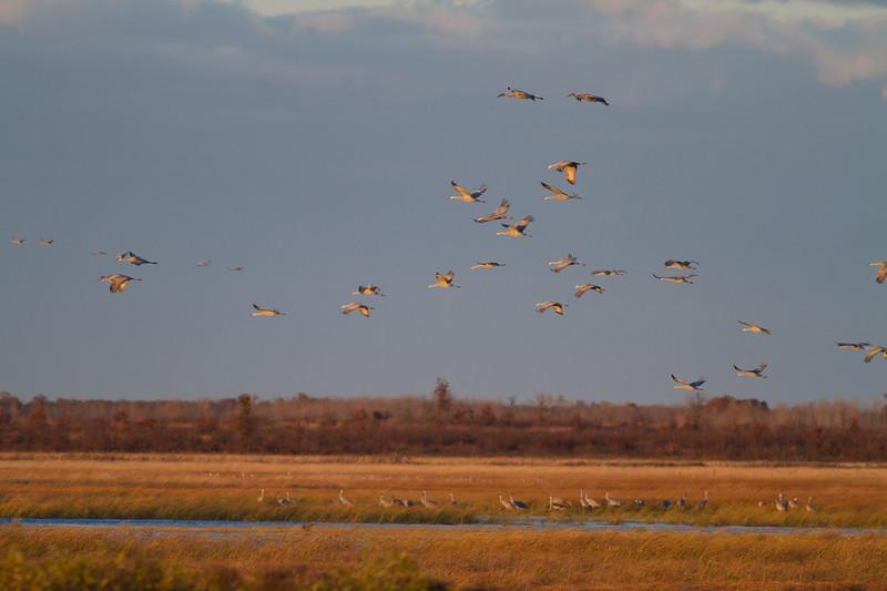 Sandhill Cranes flight flying fly in roost Crex Meadows Grantsburg WI IMG_1822.jpg