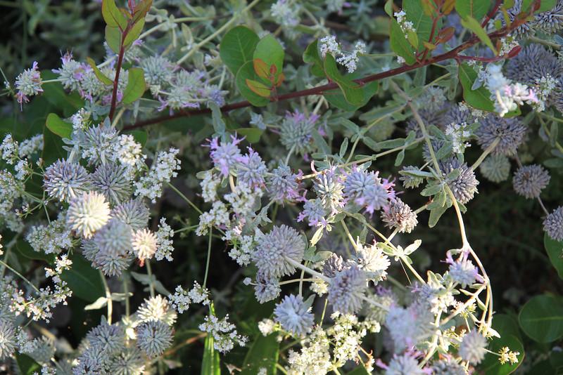 Purple Sage, Salvia leucophylla, California Buckwheat, Eriogonum fasciculatum, and Lemonadeberry, Rhus integrifolia. A nice combo.