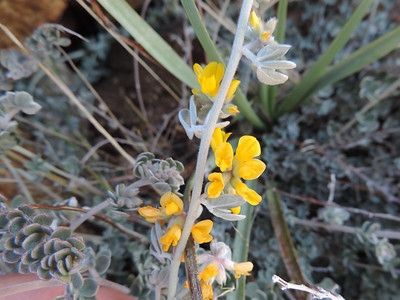 Silver-leaf Lotus (Acmispon argophyllus var. argophyllus)