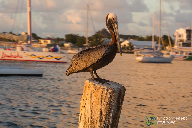 Brown Pelican at Sunset - Pelican Key, St. Maarten