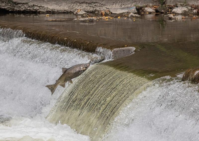 salmon upstream (32 of 48).jpg