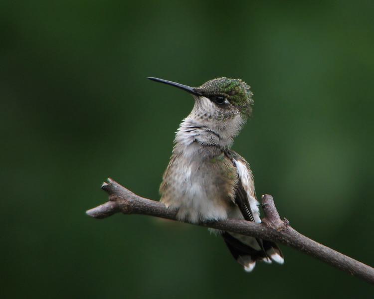 hummingbird_0675.jpg