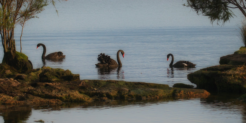 Black swans 2.jpg