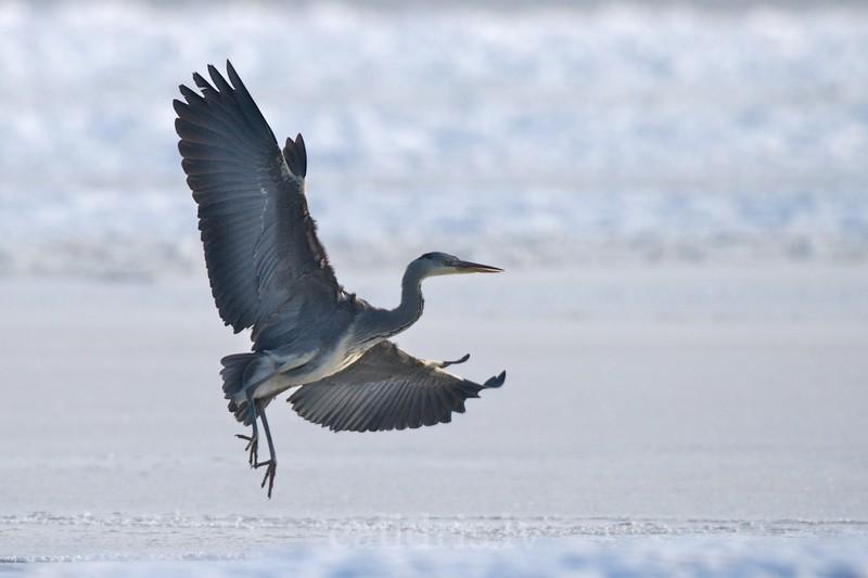 Grey Heron lands on frozen sea