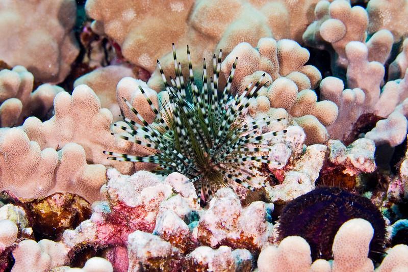 Varigated Urchin.jpg