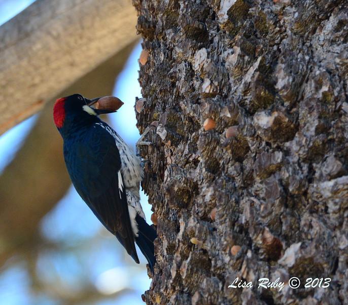 Acorn Woodpecker - 10/24/2013 - Paso Picacho Campground