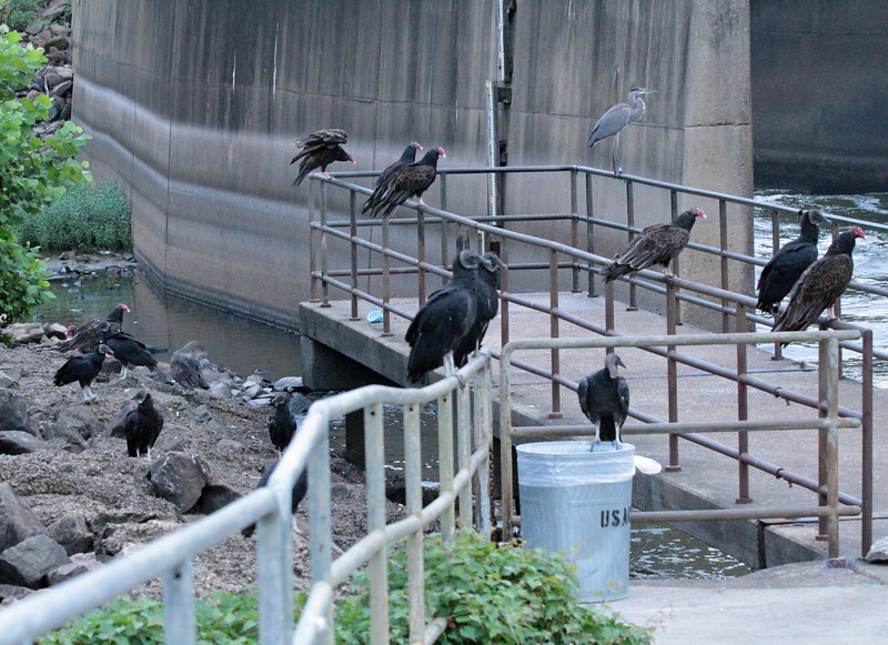 8 black vultures, 7 turkey vultures and 1 lonely great blue heron