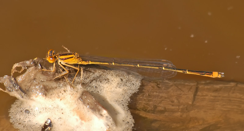 Enallagma signatum (Orange Bluet), GA