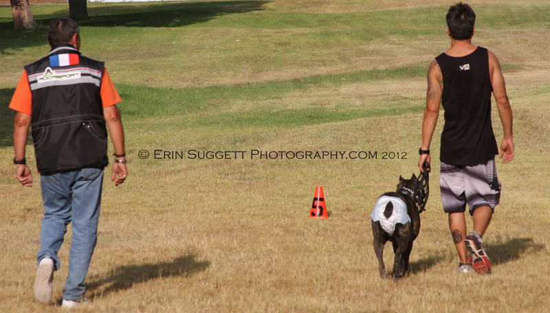 """Tex Kim & Cielo are evaluated during the CSAU """"Heel On Leash"""" test.  A multitude of temperment evaluation tests take place at the  SCABR French Ring trial in Long Beach, CA on July 13, 2012  © Erin Suggett Photography 2012 - All Rights Reserved"""