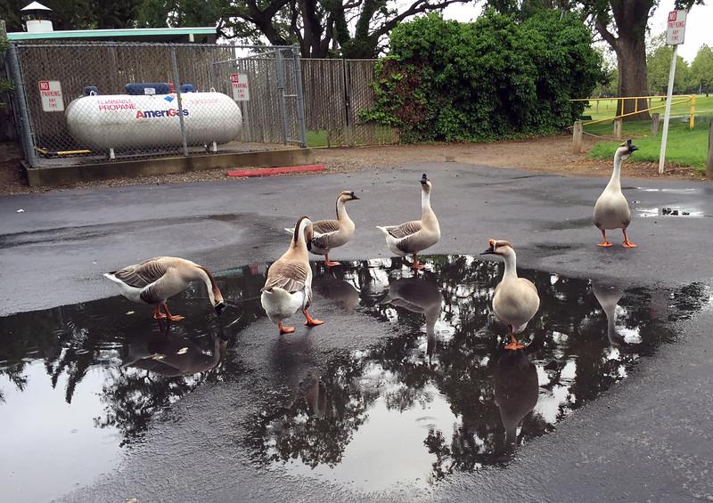 angry geese.jpg