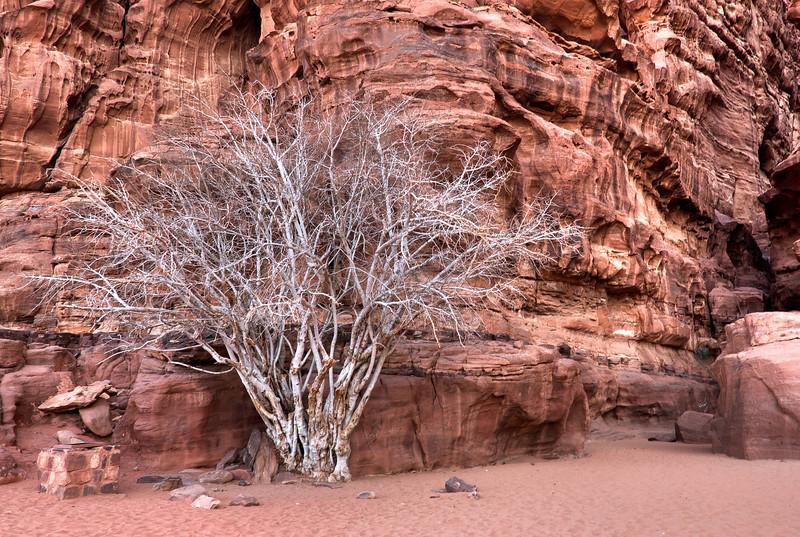 Dead trees in Wadi Rum, Jordan