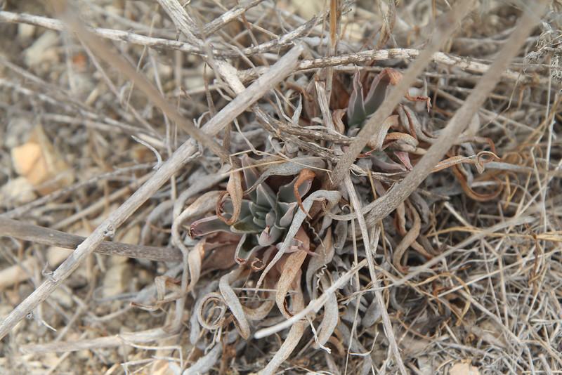 Lance-leaved Live-forever, Dudleya lanceolata