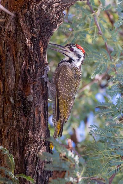 Bennett's Woodpecker.jpg