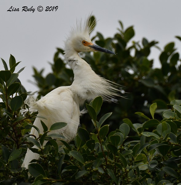 Snowy Egret in nest tree  - 6/24/2019 - Imperial Beach Sports Park