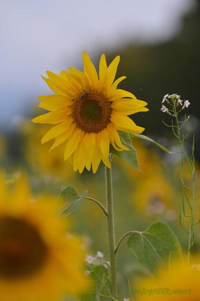 Sunflower Lonay_20092020 (70).JPG