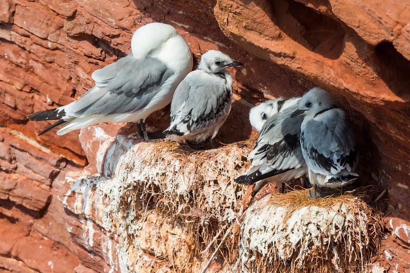 Fugle-Ride-RissaTridactyla-Helgoland-2014-07-05-_MG_8116-Danapix.jpg