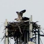 Osprey Nest, Nyona Lake  7/16/15