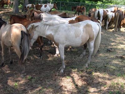 Chincoteague Horses 2006